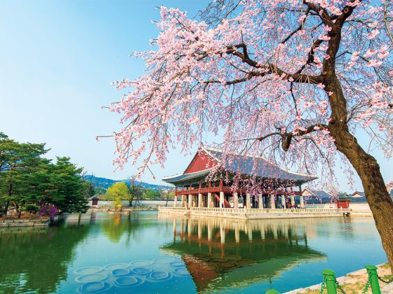 Gyeongbokgung Palace with cherry blossoms in spring.